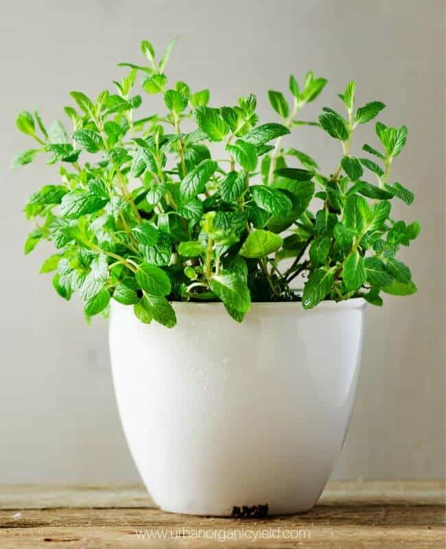 Grow Basil Indoors Without Dirt All Winter