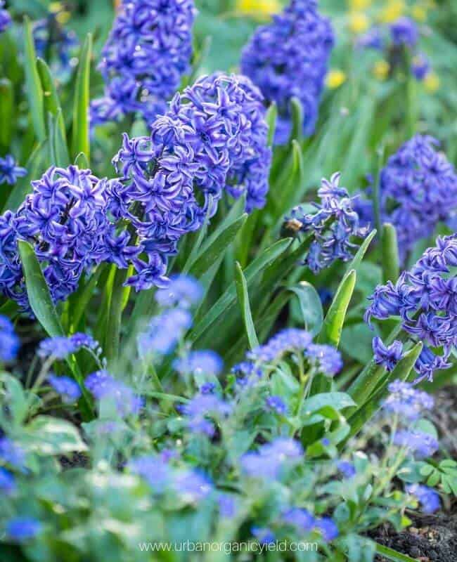 30: Hyacinth