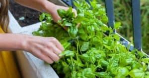 Is Basil A Perennial Herb_ How To Grow Basil All Season Long