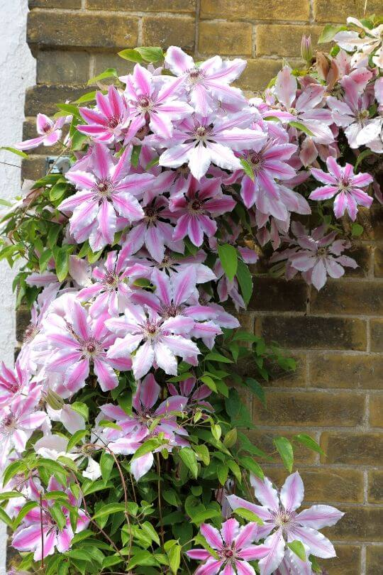 Early Large-Flowered Clematis