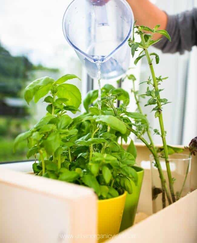 Timely And Thoughtful Watering basil indoor