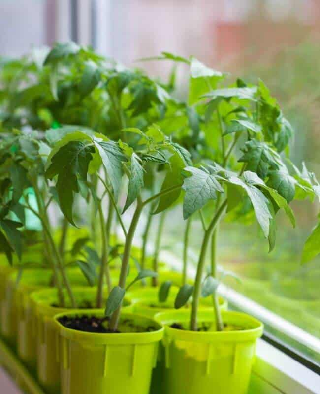 To Harden Your Tomato Seedlings, Follow These Steps_