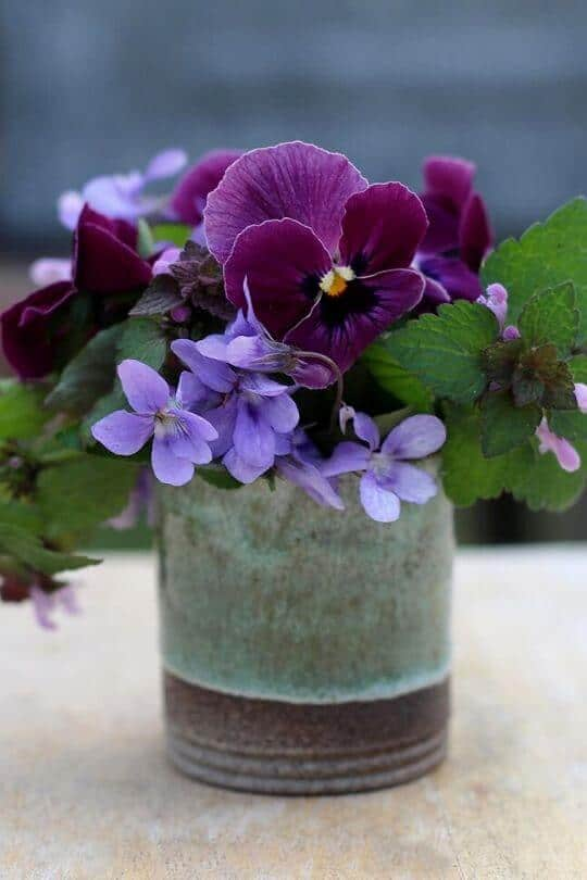 Viola (Viola cornuta)