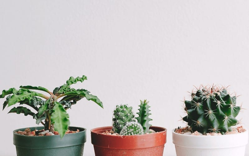 What Are Cacti_