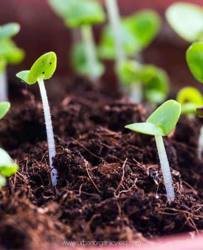 When Should I Start Growing Basil From Seed_ )