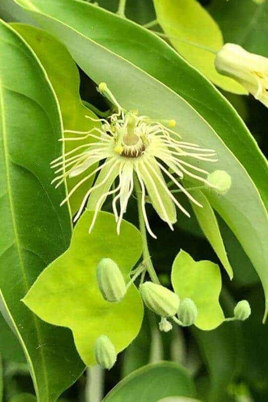 Yellow Passion Flower