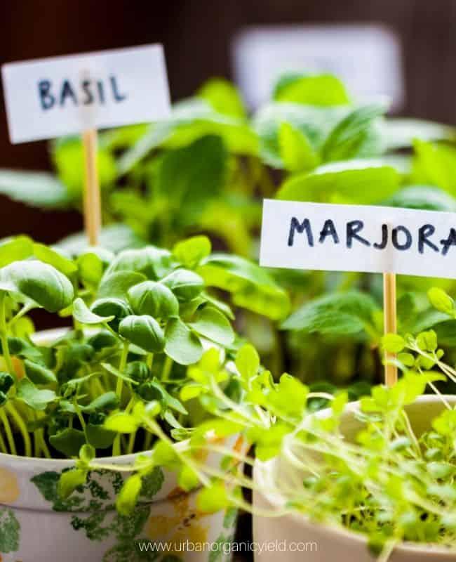 annual Herbs like basil
