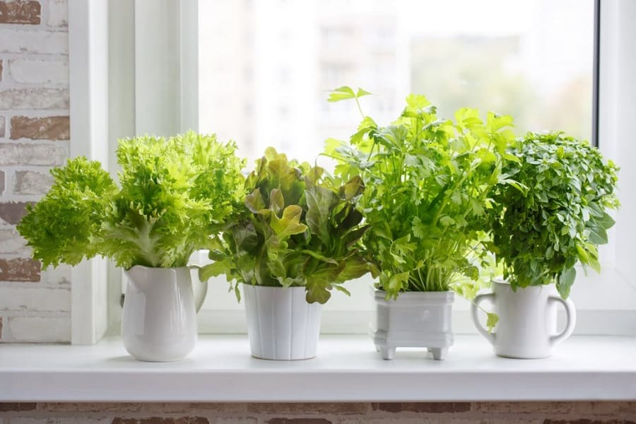 Is Basil A Perennial Herb? How To Grow Basil All Season Long