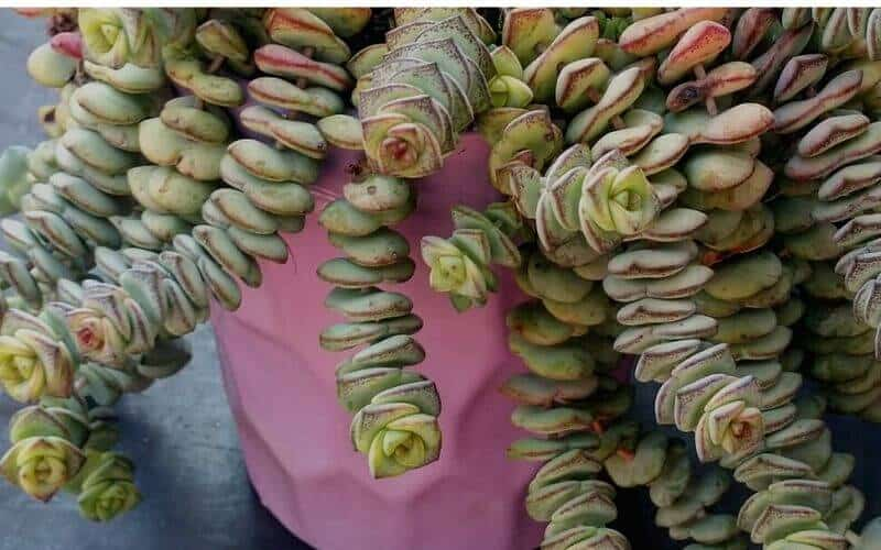 Crassula Perforata 'String of Buttens'