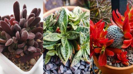 Crassula Varieties_ 20 Different Types Of Jade Plants With Pictures