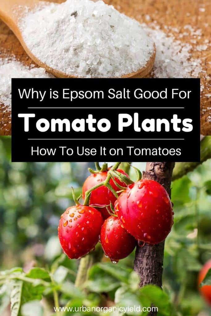 Epsom Salt For Tomatoes_ Why Is Epsom Good For Tomato Plants