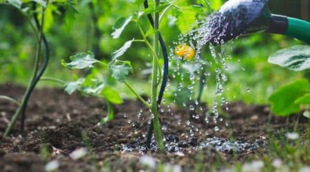 How Much And How Often To Water Tomato Plants