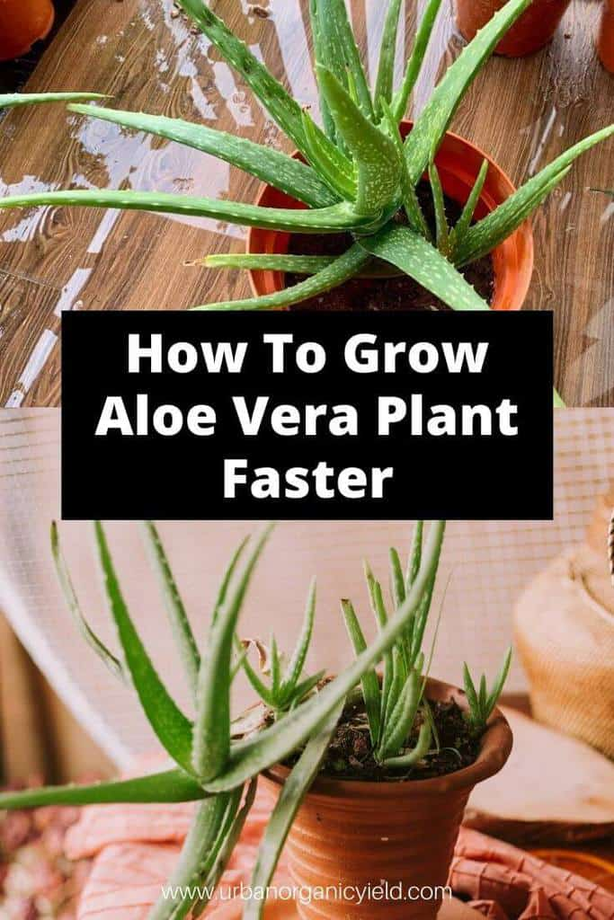 How To Grow Aloe Vera Plant Faster