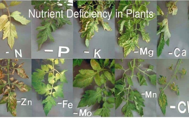 Compacted Or Non-Aerated Soil Can Cause Your Tomato Plant To Get Yellow Leaves