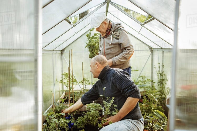 Two Men Gardening In Small Greenhouse