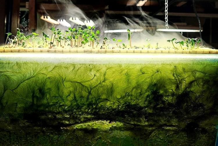Algae in Aquaponics System