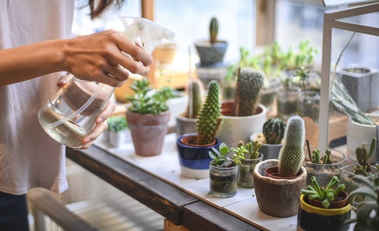 Spraying Succulents