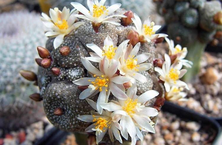 Blooming Blossfeldia liliputana