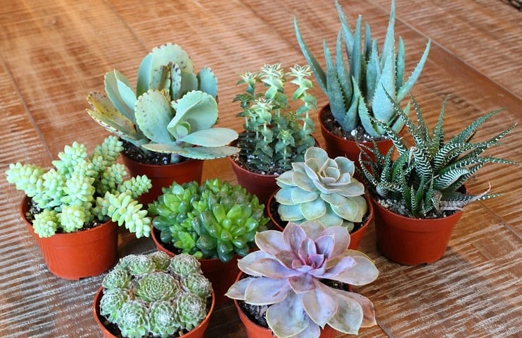 average life of mini succulent