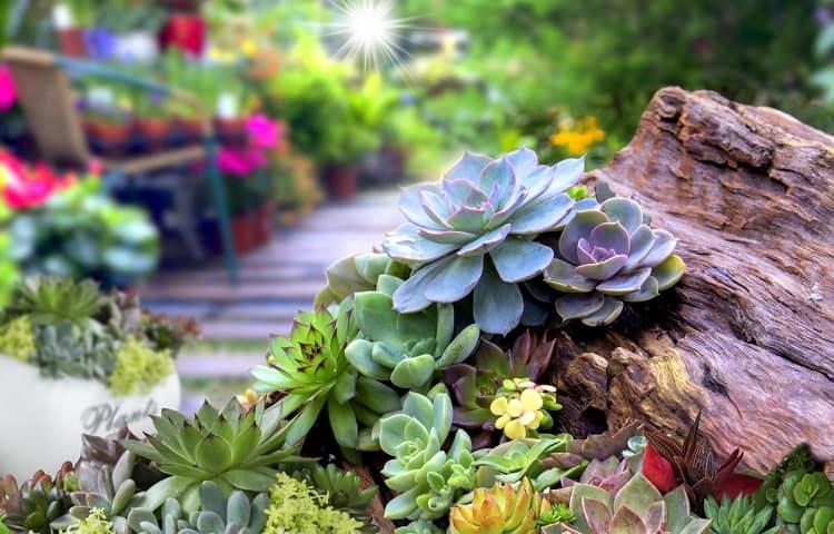 indoor vs outdoor succulents