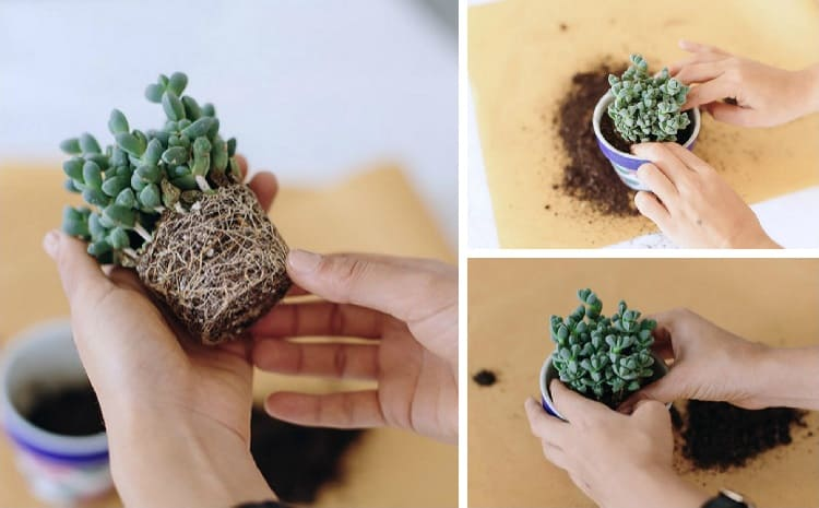 repotting mini succulent