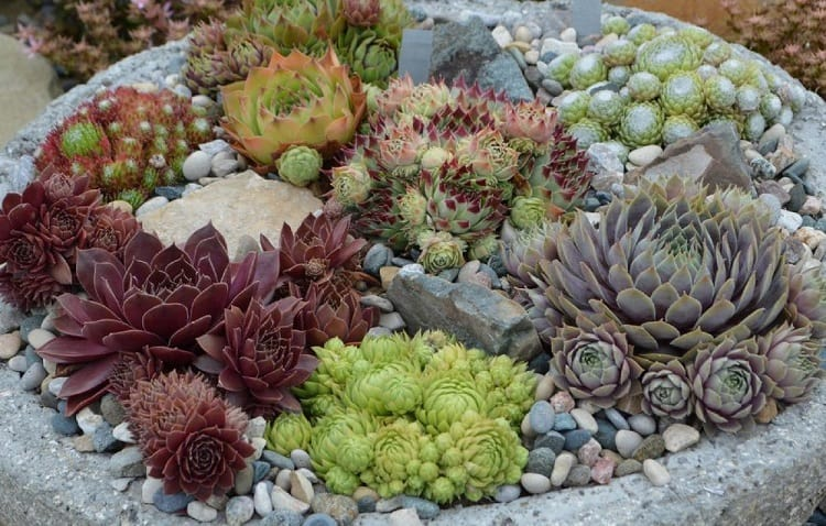 collection of sempervivum
