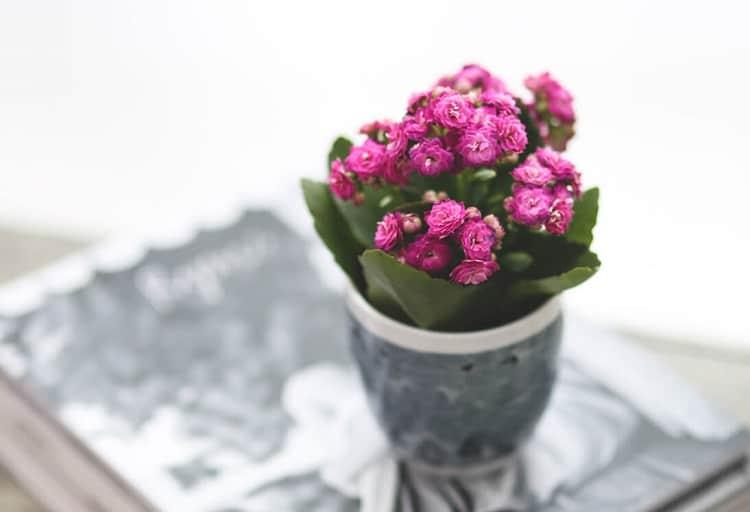 Kalanchoe Indoor Plant