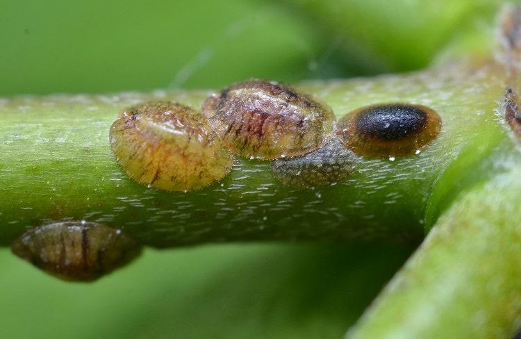 Succulent Pest