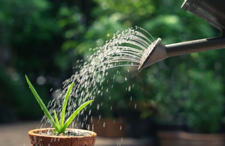 Aloe Vera Watering