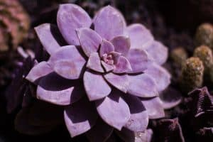 Everything You Should Know About Graptopetalum And How To Care For It