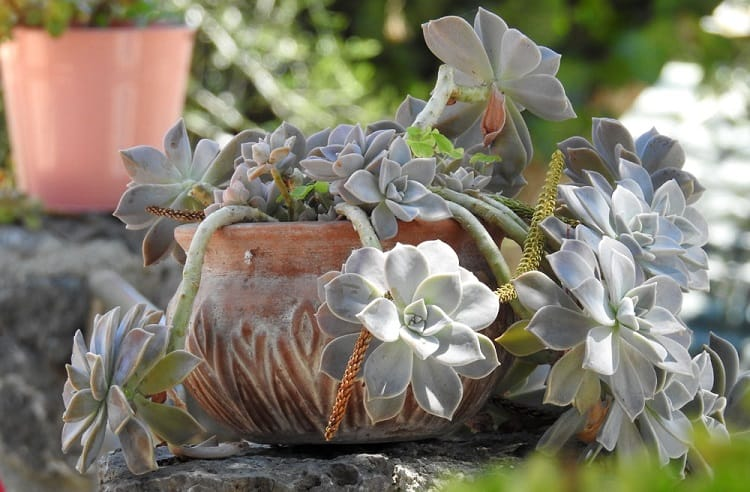 Graptopetalum Plant