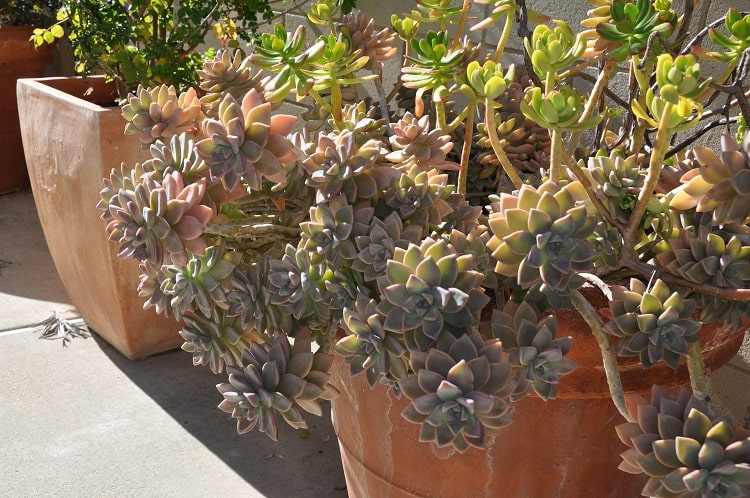 Graptopetalum On Sunlight