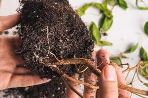 Root Rot And How Does It Happen