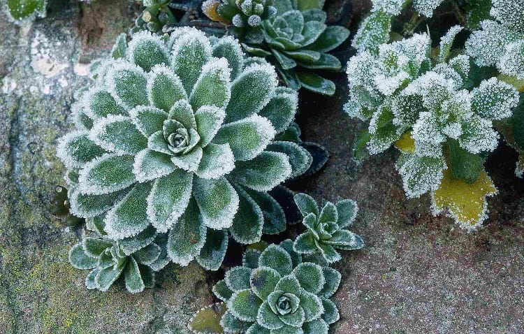 winter cover for succulents