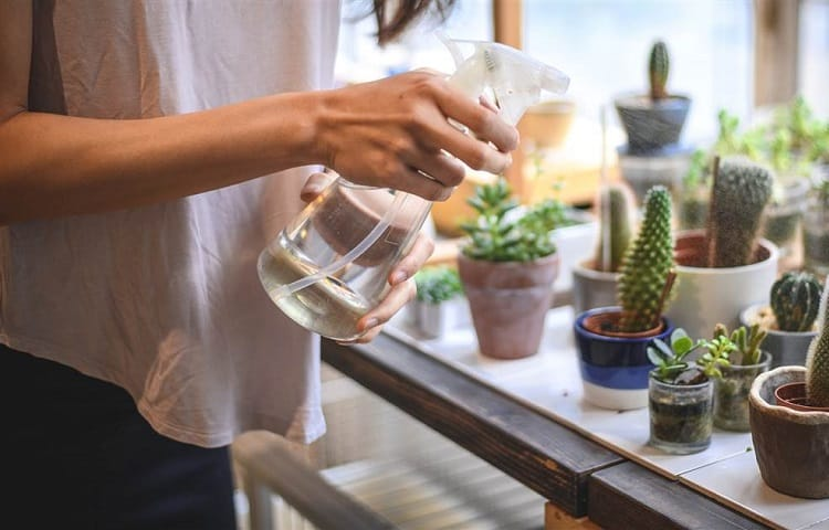 gardener spraying water on succulents and cactus