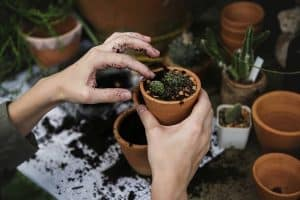 Succulents Fertilization Guide