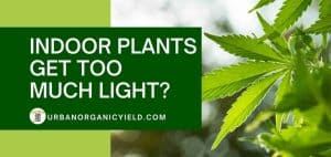 Cannabis Gets Too Much Light