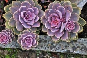 11 Easiest To Grow Rose Succulents