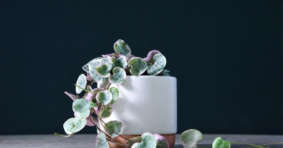 Variegated String Of Hearts Plants in a white pot