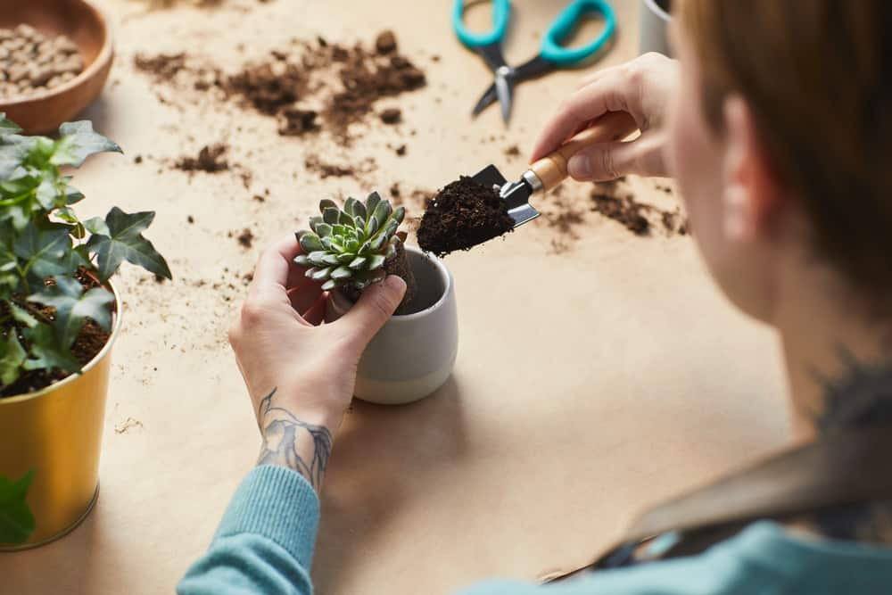 Repotting Overwatered Succulent