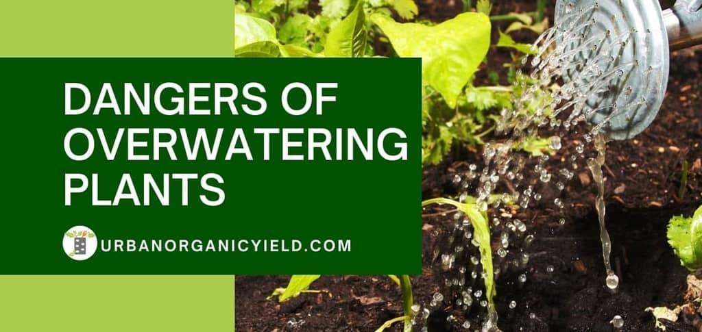Dangers Of Overwatering Plants