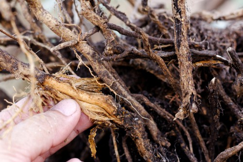 Plant Root Rot from Overwatering