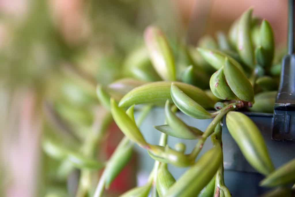 What'S The String Of Bananas Plant? Image 3