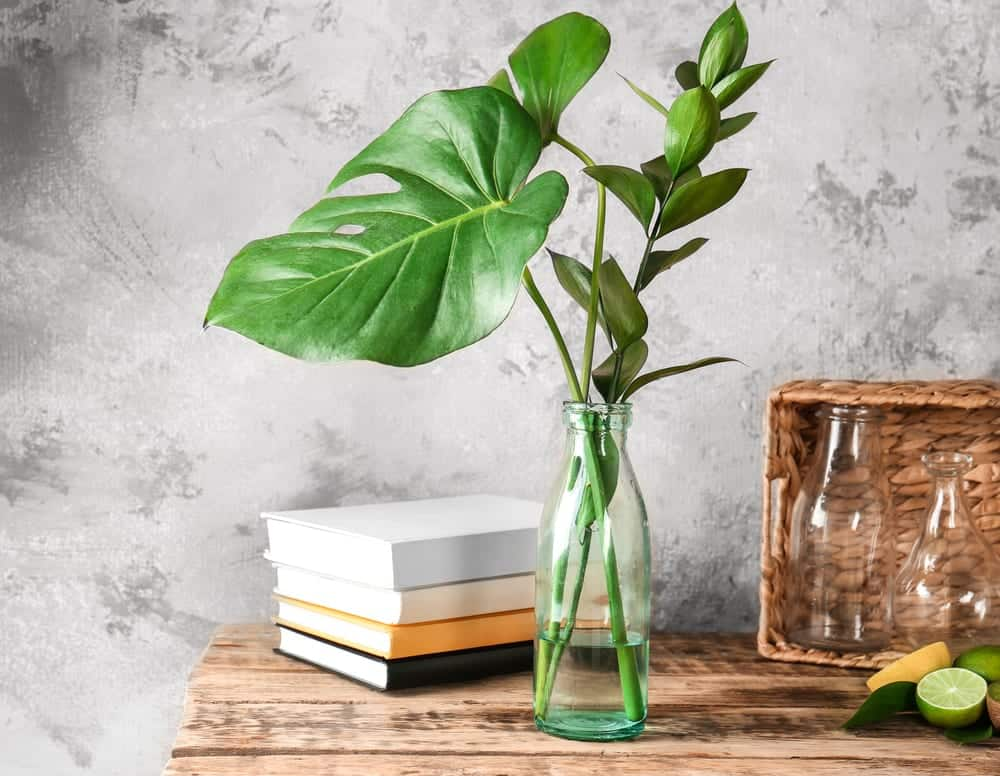 Propagate Monstera: All What You Need To Know Image