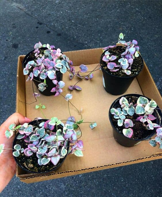 4 Variegated String Of Hearts Plants ready to be transported