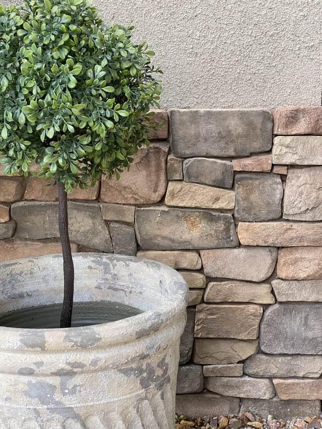 boxwood shrub in a planter