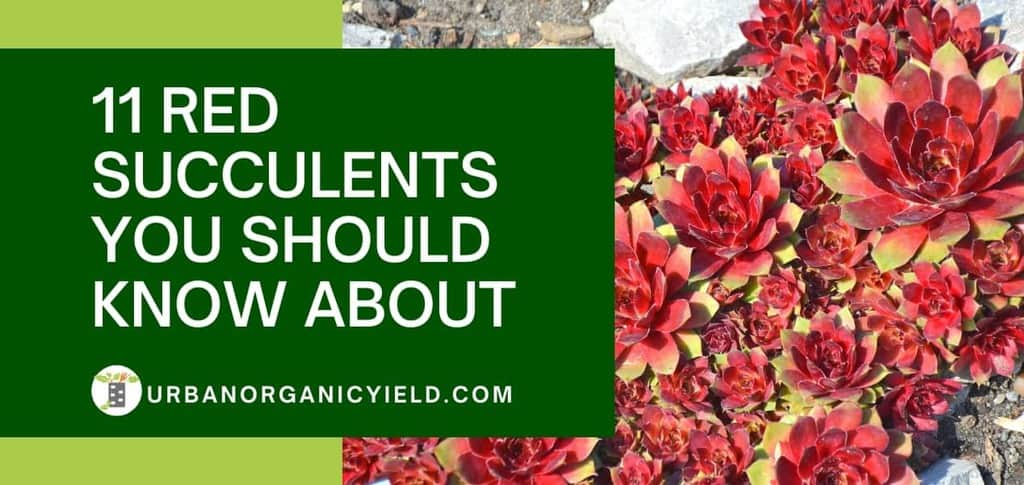 11 red succulents you should know about