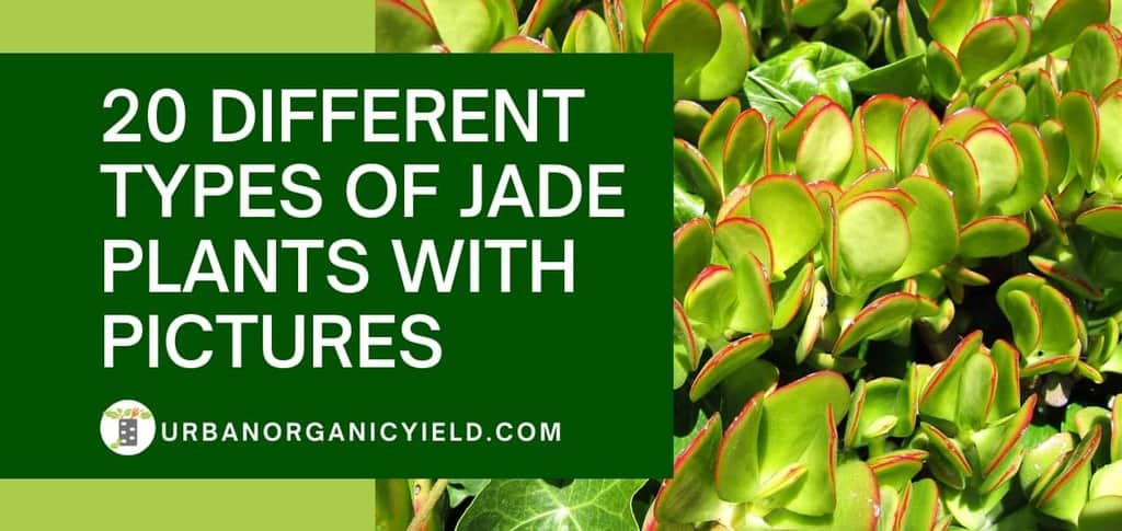 20 different types of jade plants