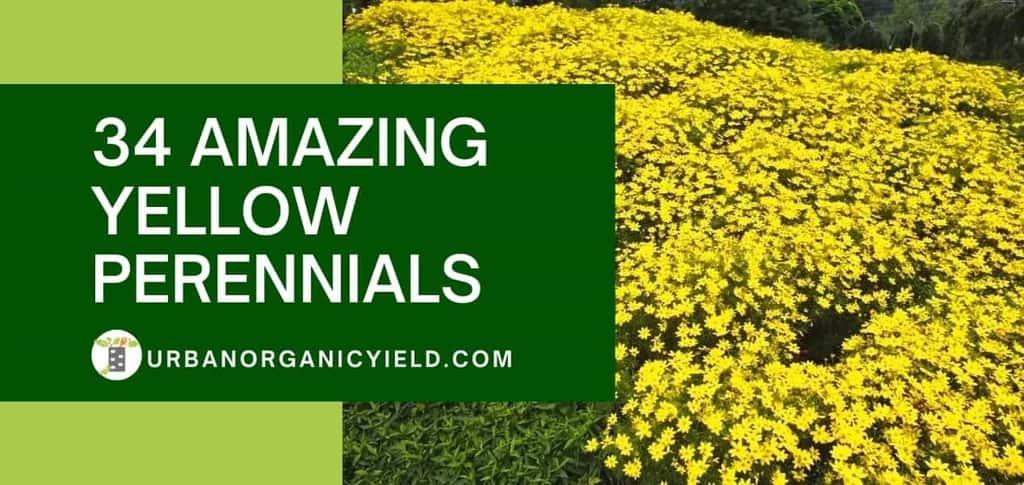 34 Amazing Yellow Perennials