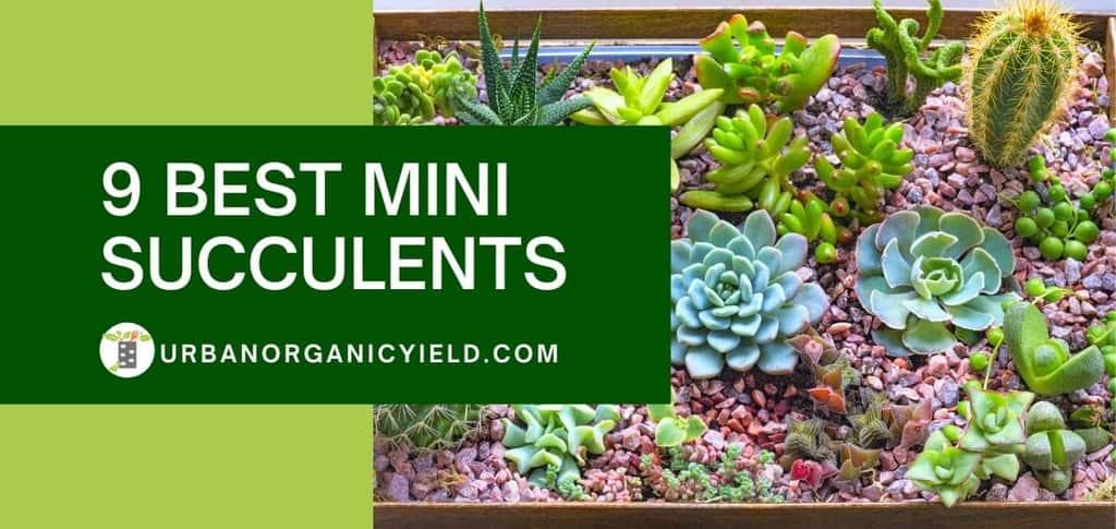 9 best mini succulents